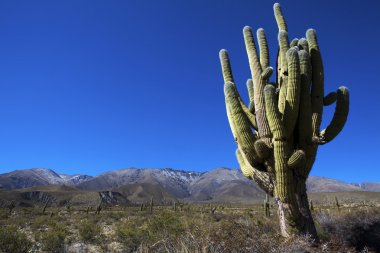 Big cactus in Jujuy - North Argentina