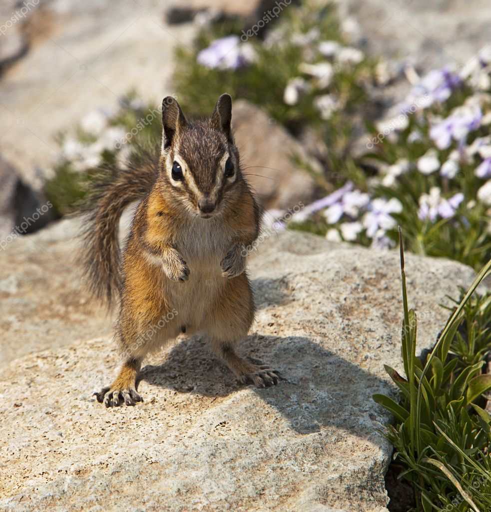Mountain Chipmunk