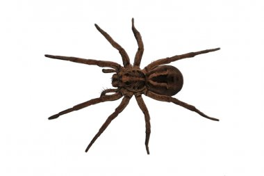 Wolf Spider over head view