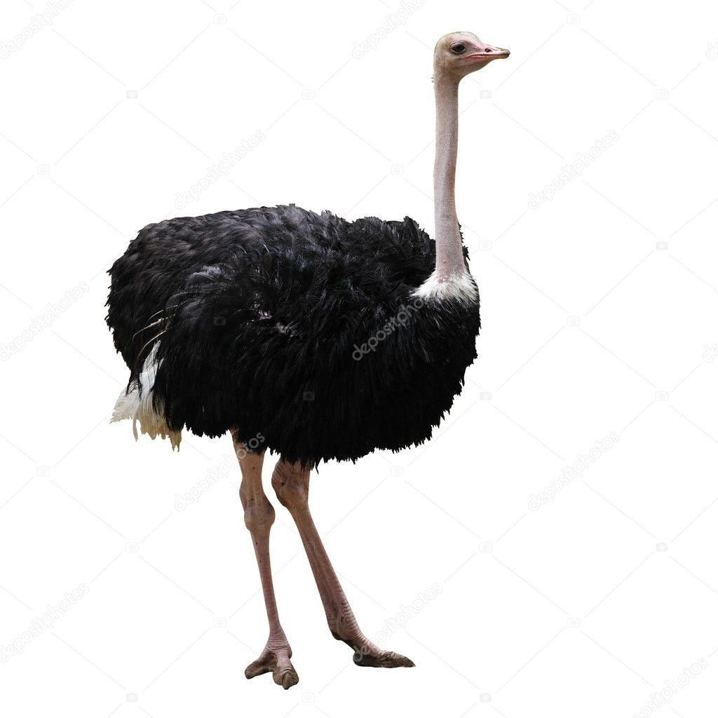 beautiful ostrich u2014 stock photo tristantan71 7412012