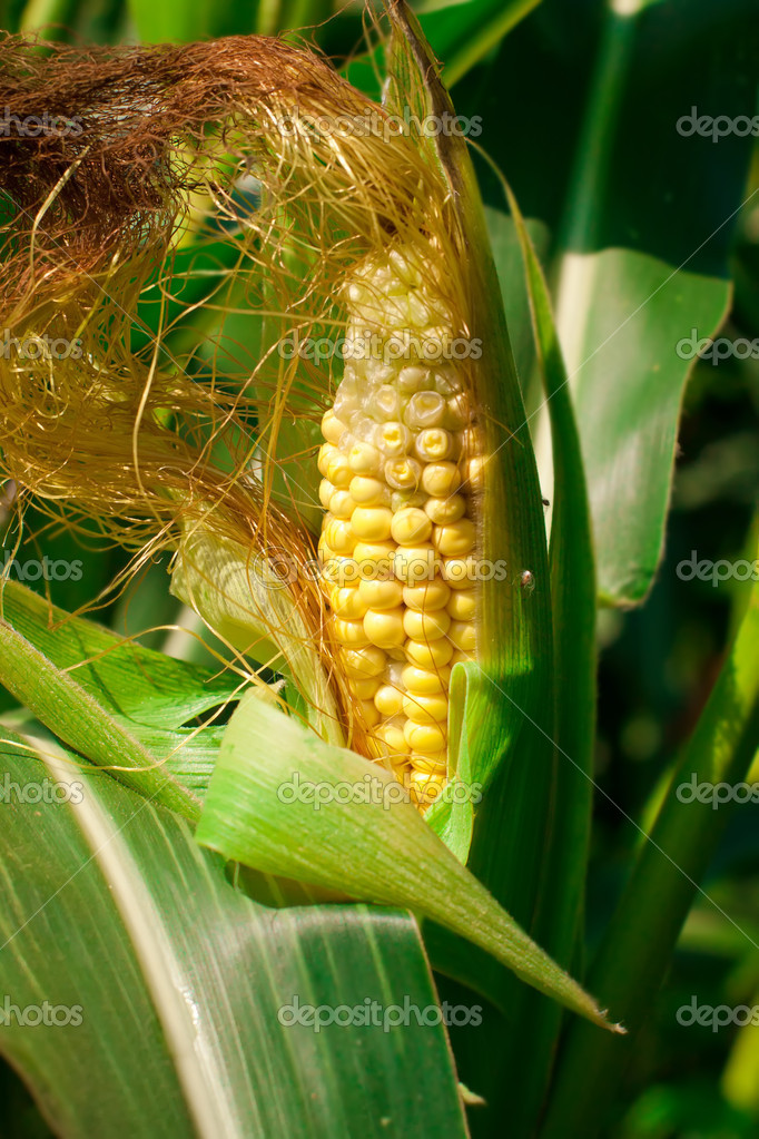 creciendo en el campo de maíz — Foto de stock © raddmilla #7840261