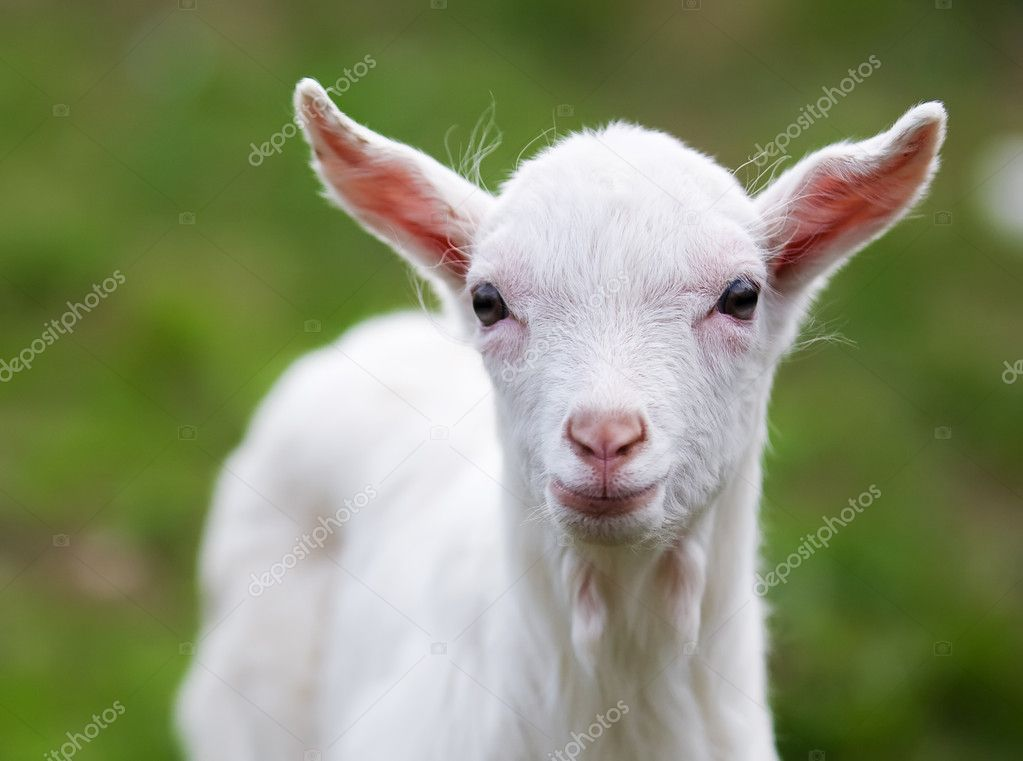 legit cizoložství malé kozy