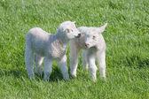 soddisfatti gli agnelli giovani nel pascolo in primavera