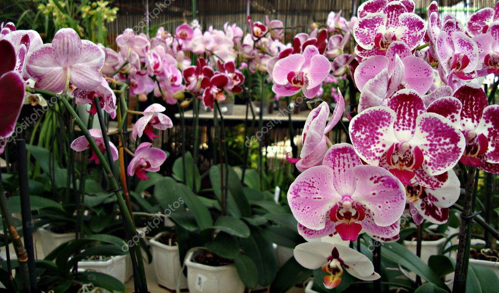 Fiori di orchidea rosa foto stock liliportfolio 7656262 for Orchidea prezzo