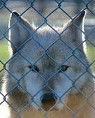Grauwolf im Käfig