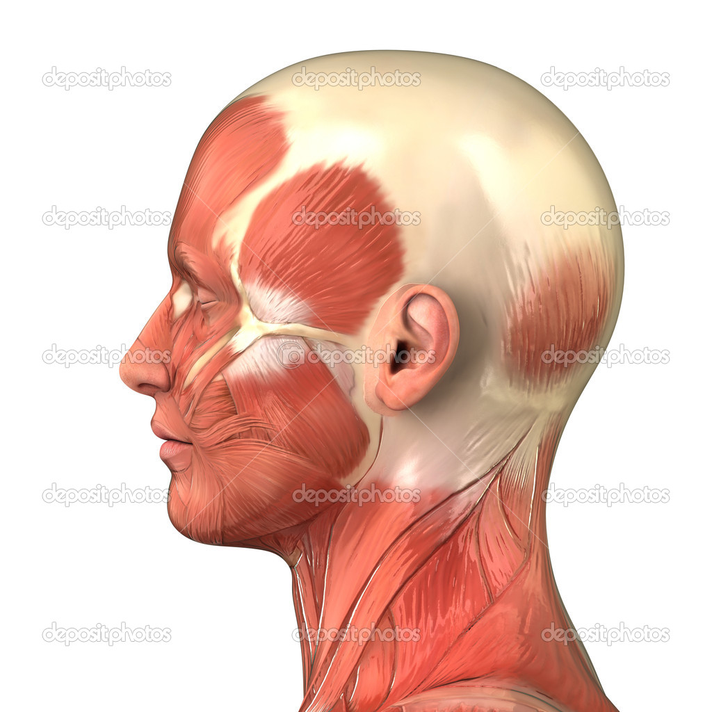 Head Muscular System Anatomy Right Lateral View Stock Photo