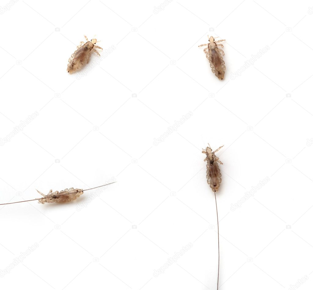 Different lice on a white background