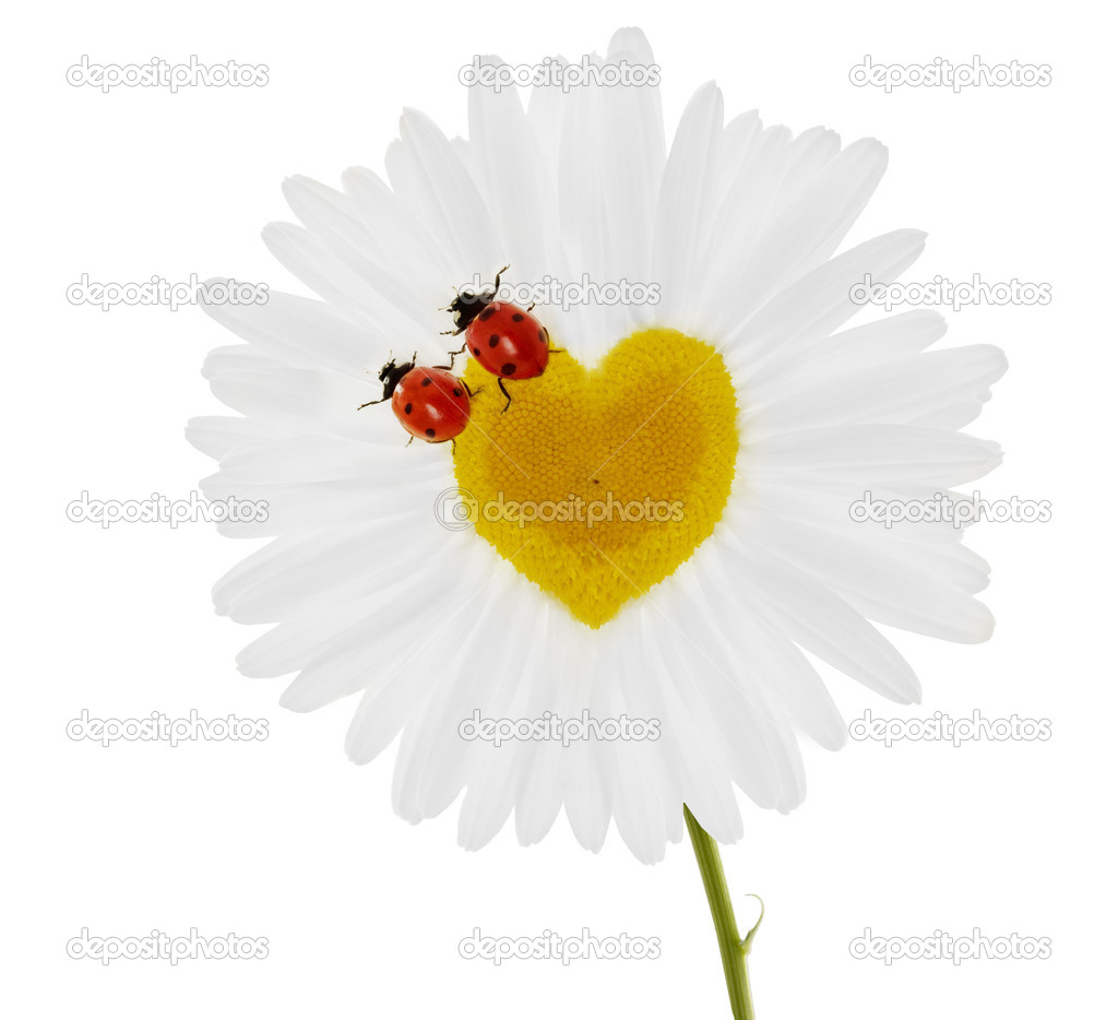 Two ladybirds on chamomile in the form of heart