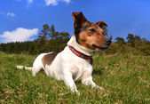 Jack Russell Terrier Lying in the grass