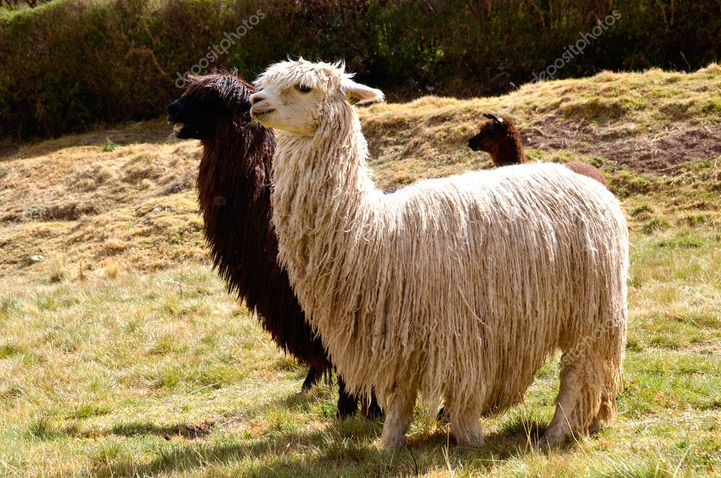 Pair of Black and White Lamas with a Baby