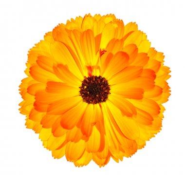 One Blossoming Orange Pot Marigold Flower Isolated on White