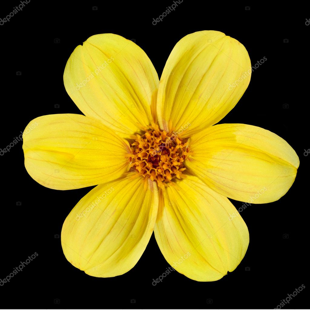 Yellow dahlia flower isolated on black background stock photo yellow dahlia flower isolated on black background stock photo izmirmasajfo