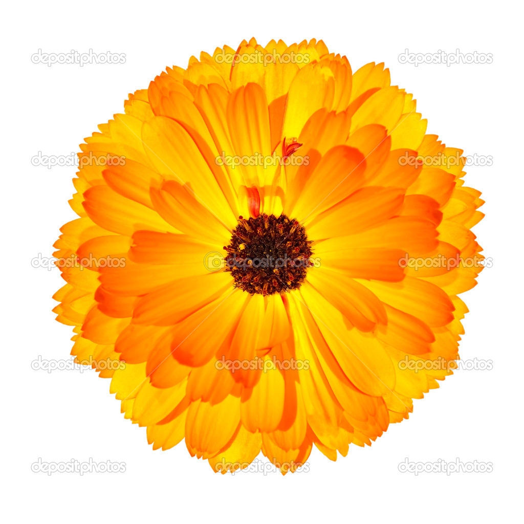 One Blossoming Orange Pot Marigold Flower Isolated on White