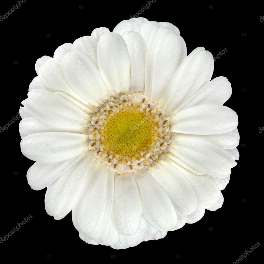 Perfect White Gerbera Flower Isolated On Black Stock Photo Tr3gi