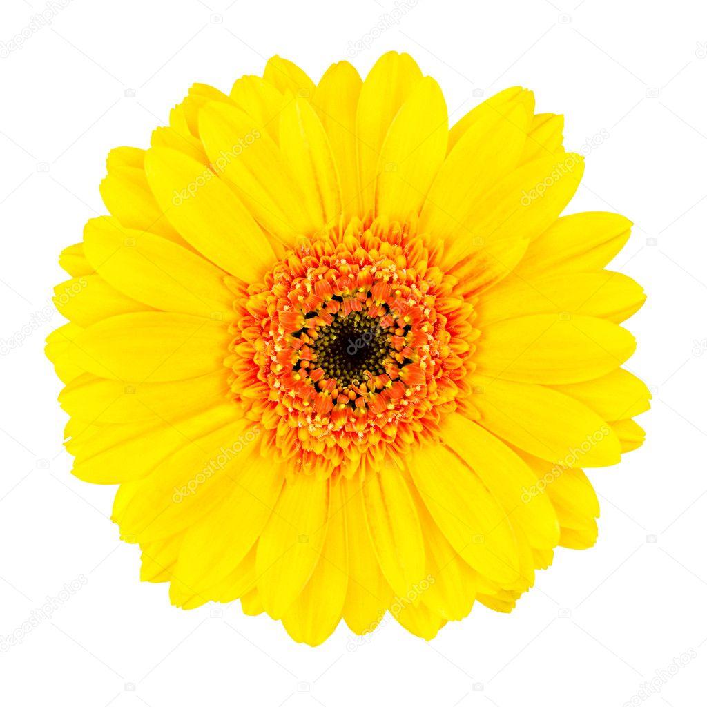 Yellow Gerbera Flower With Orange Center Isolated Stock Photo