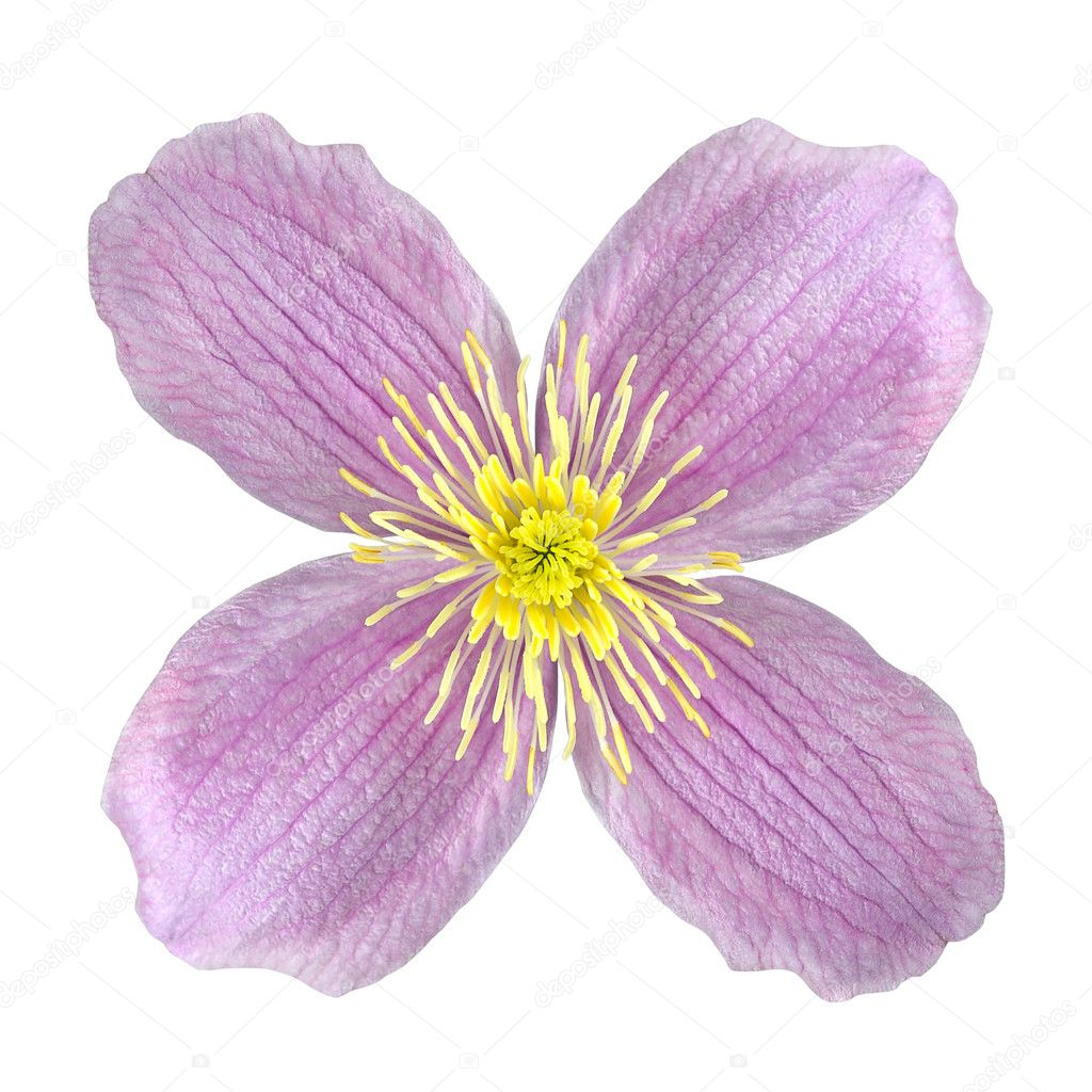 Clematis Pink Flower Isolated On White Stock Photo Tr3gi 7554944