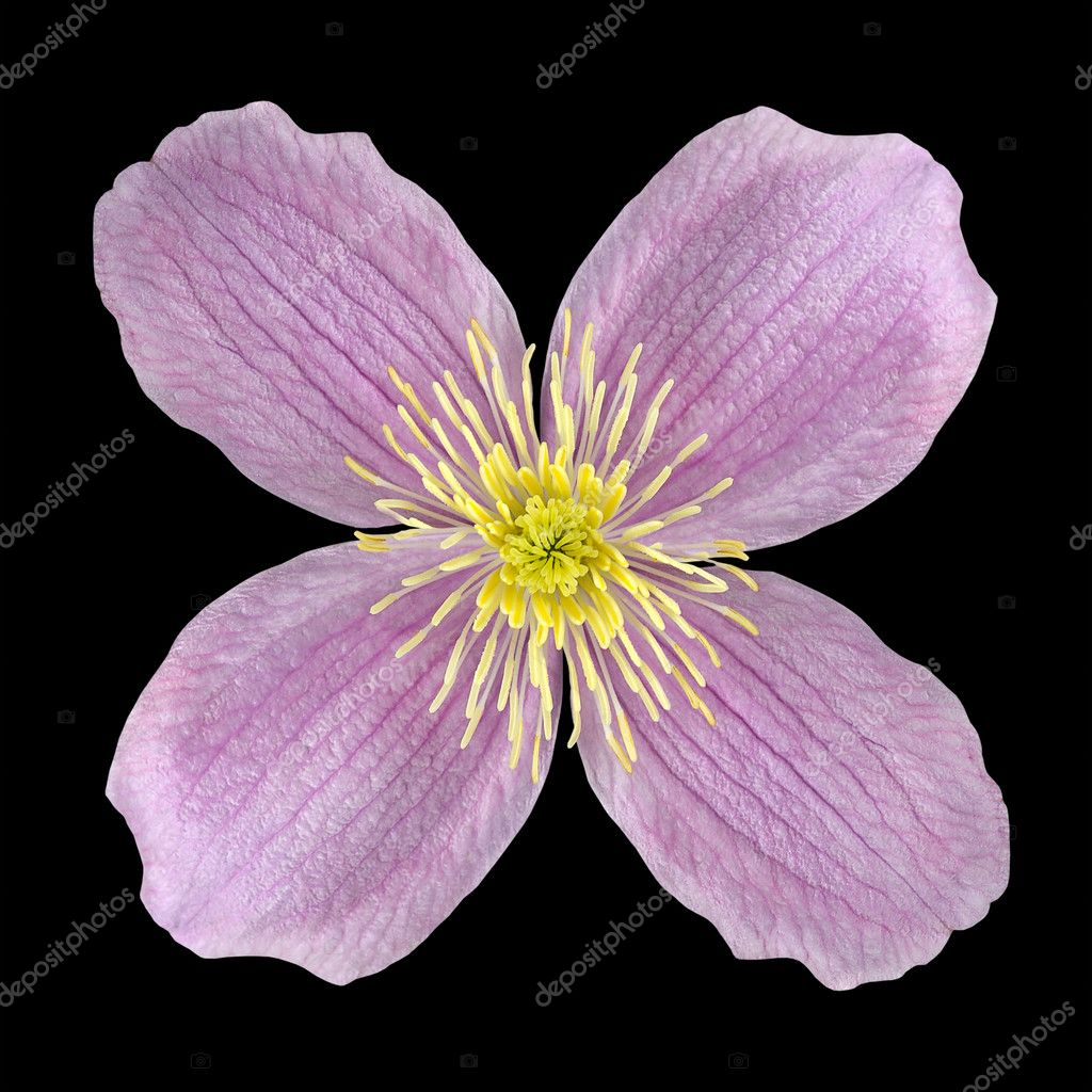 Clematis pink flower with yellow center isolated stock photo clematis pink flower with yellow center isolated on black background photo by tr3gi mightylinksfo