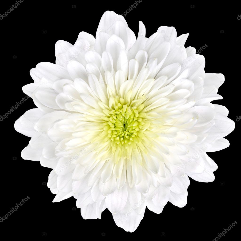 White Chrysanthemum Flower With Yellow Center Isolated Stock Photo