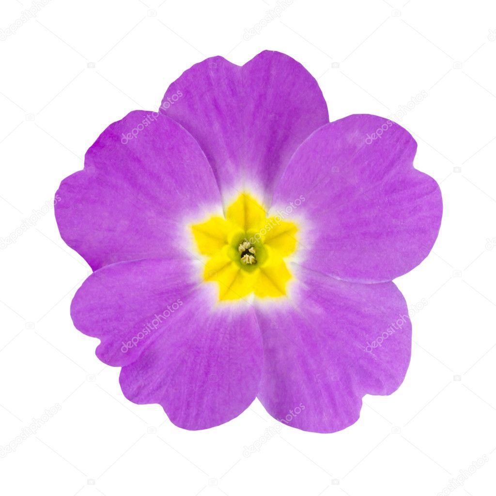Purple And Yellow Primrose Flower Isolated Stock Photo Tr3gi