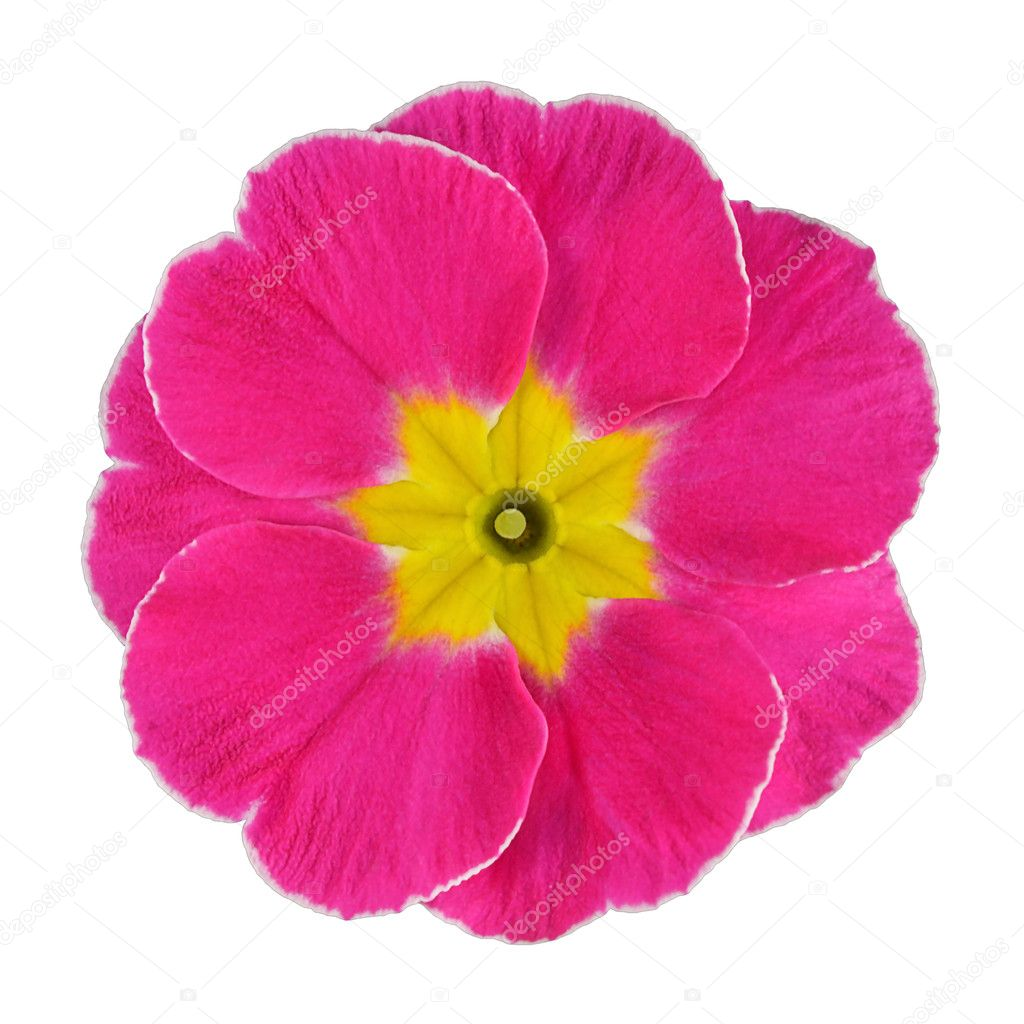 Pink and yellow primrose flower isolated stock photo tr3gi 7555146 single pink primrose flower with yellow center isolated on white background macro on primula flower photo by tr3gi mightylinksfo Image collections