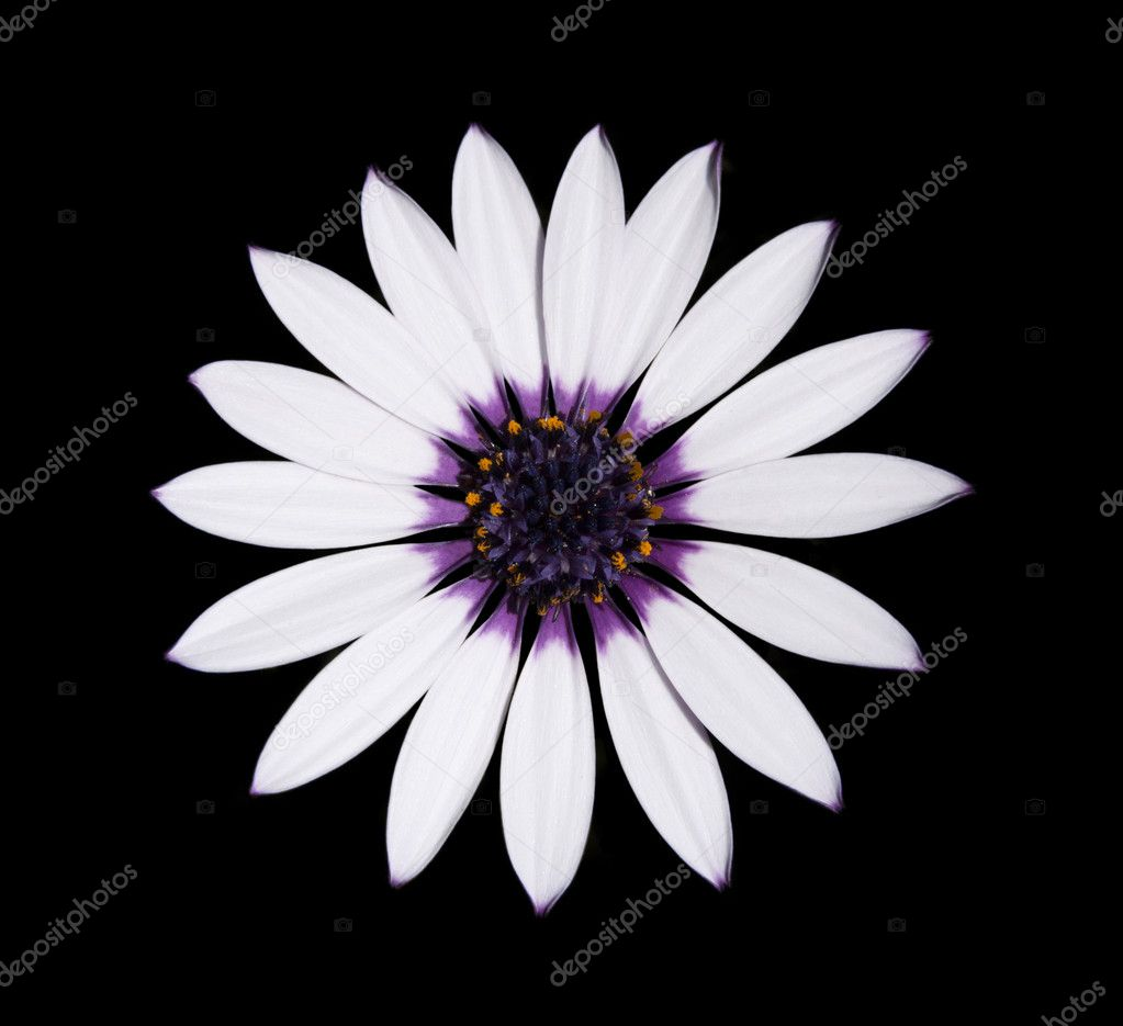 Beautiful osteospermum asti white daisy with purple center isolated on black background top view photo by