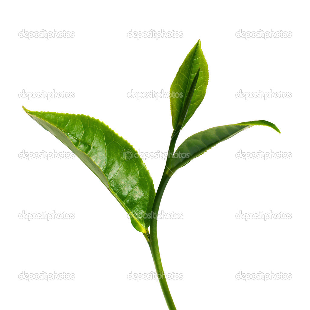 tea leaf Green tea - tea leaves that have been steamed and dried without fermenting oolong - chinese tea leaves that have been partially fermented before being dried camellia sinensis, tea - a.