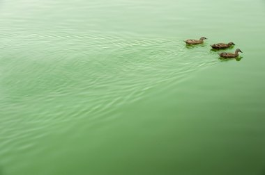 Two ducks on the tranquil lake surface