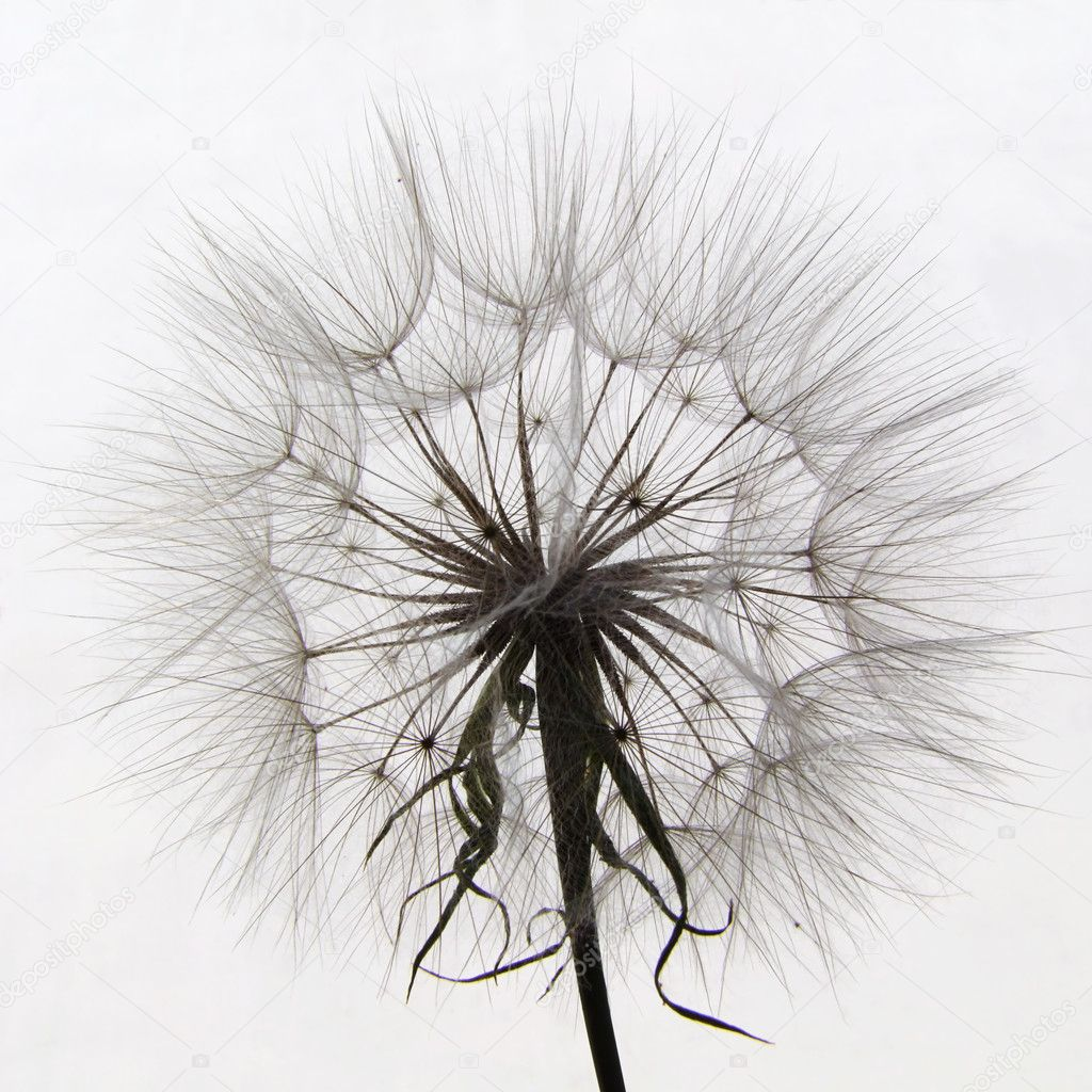 Closeup of salsify seed head on white