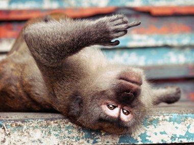 Monkey giving the finger