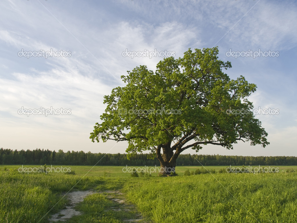 Single oak tree on the fild near to road.