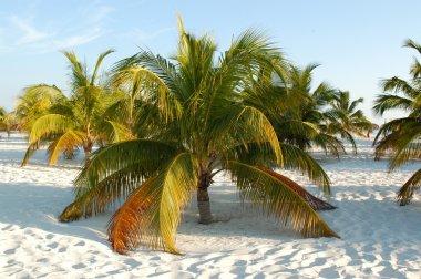 Palma ai caraibi