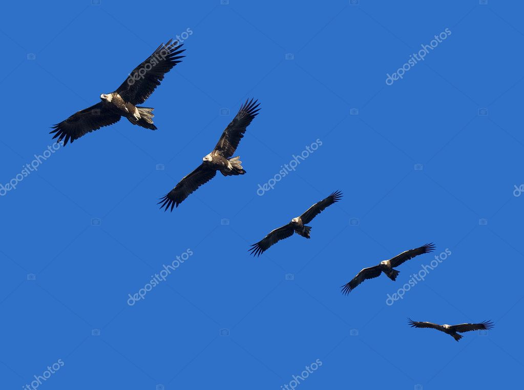 Wege-Tail Eagle Montage