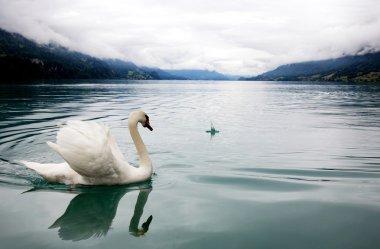 White swan in mist lake