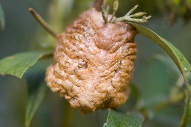Macro Of Praying Mantis Egg Case Ootheca, Foam