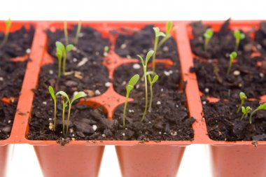 Daisy Seedlings Sprouting in Pots, Isolated White