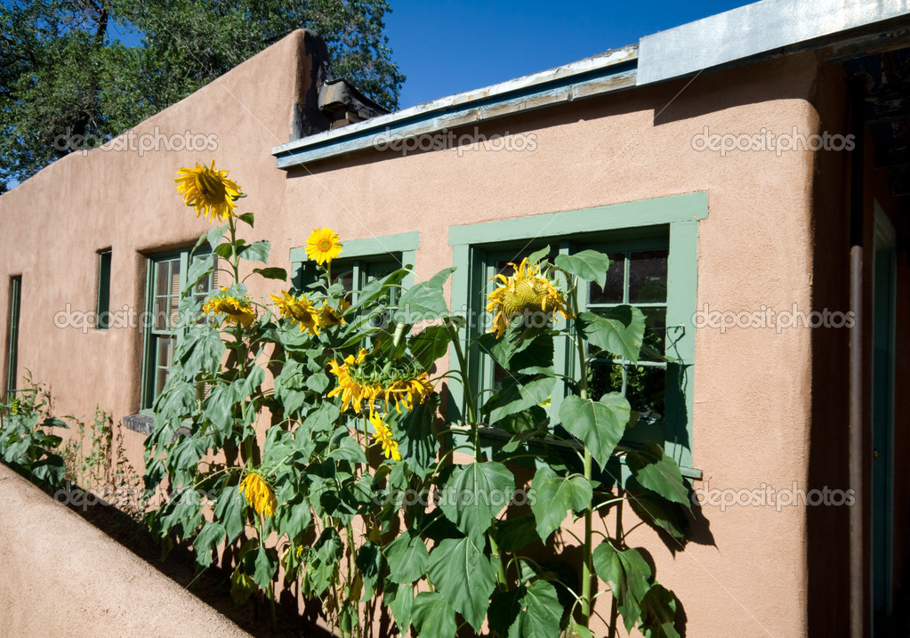 Sunflower Row Along Adobe House Santa Fe, New Mexico.