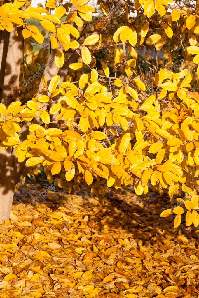 Yellow Leaves Falling Star Magnolia Tree In Autumn Stock Photo