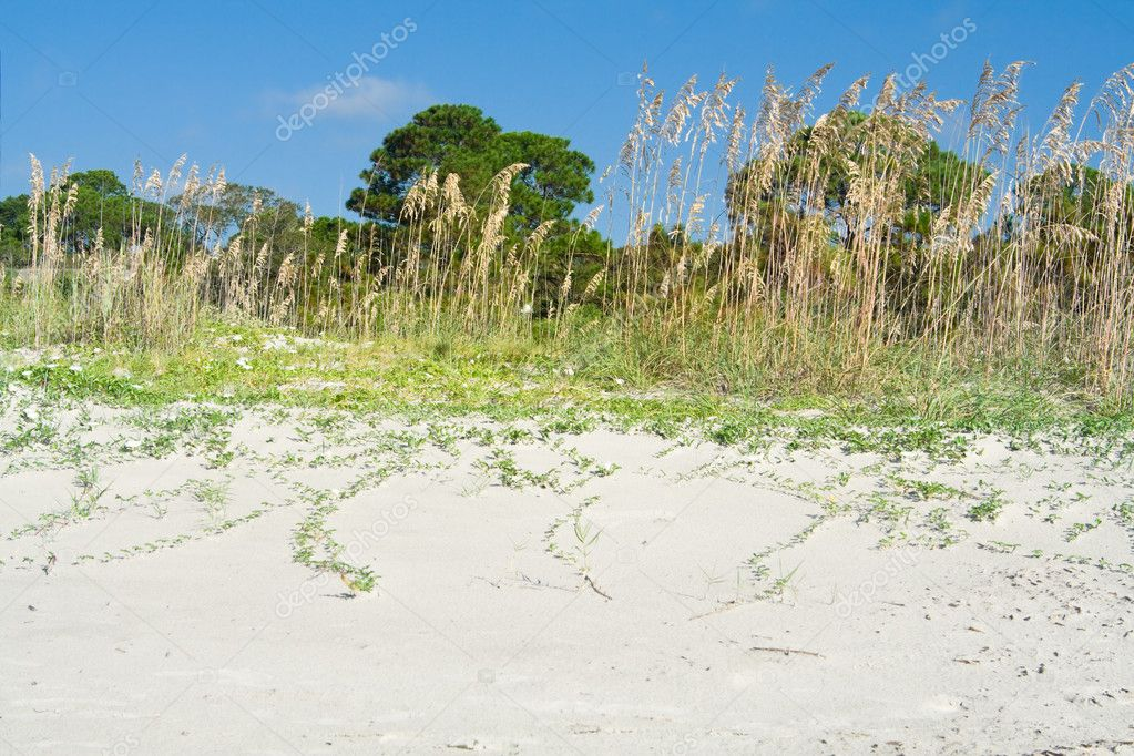 Sea Oat Grass Beach Dunes Hilton Head South Carolina, USA