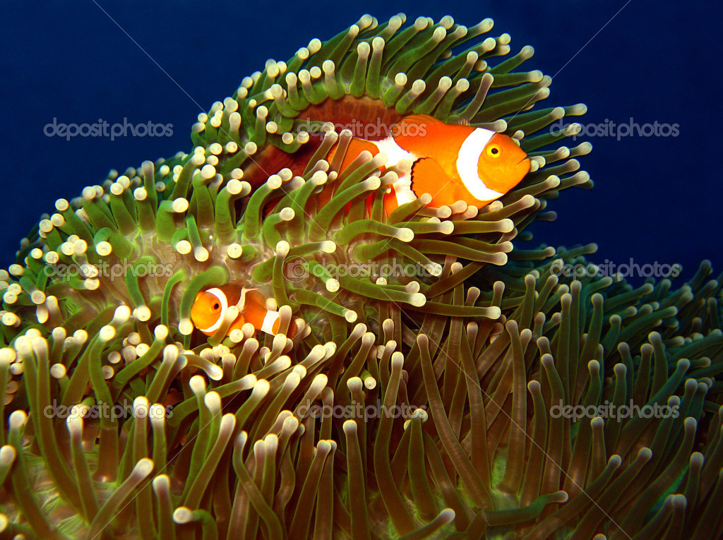 Western Clown-anemonefish Couple