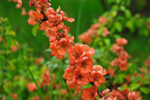 Blossoms of japanese quince