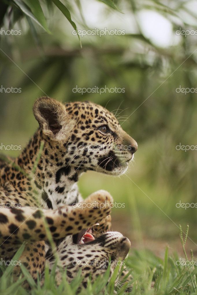 Jaguar cubs in grass