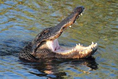 American Alligator (mississippiensis)