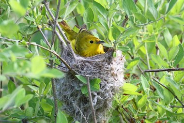 Yellow Warbler In A Nest