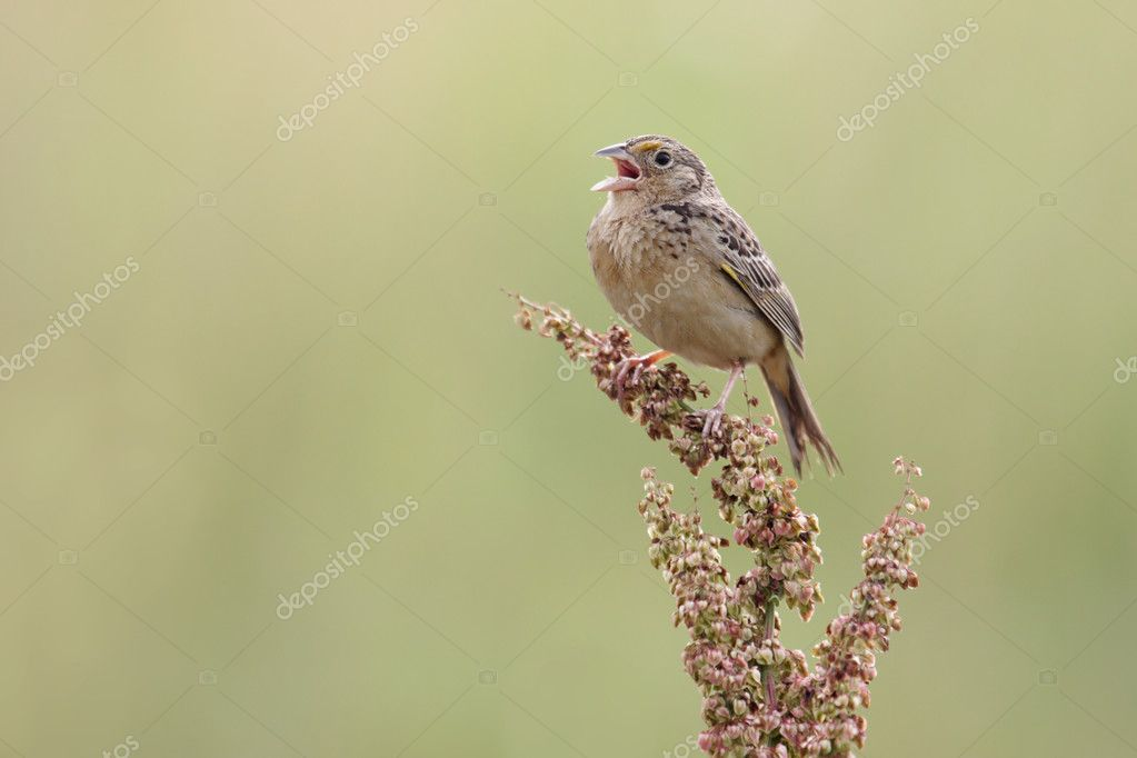 Grasshopper Sparrow (Ammodramus savannarum)