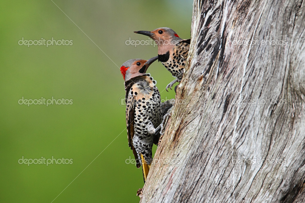 Woodpeckers building a nest