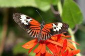Maderia motýl