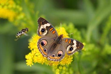 Common Buckeye Butterfly And Bee
