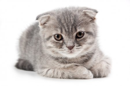 British kitten isolated on white