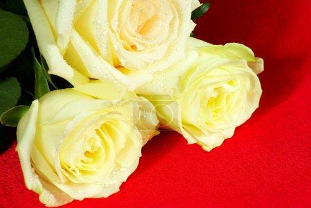 Foto de Una rosa es aislada sobre un fondo rojo - Imagen libre de derechos