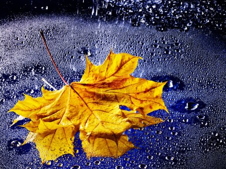 Yellow autumn leaf floating on water with rain.
